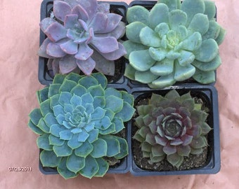 Succulent Plant Collection of 4 beautiful rosette shaped succulents in blues and grays