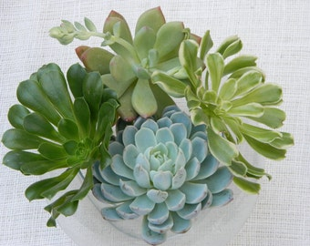 6 Large Succulent Cuttings - Rosette Shape for Bouquets, Wedding Centerpieces, Wedding Cake Toppers, Succulent Tabletop
