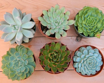 Succulent Plant Collection - 6 Succulent Rosette Shapes for Wedding Bouquets, Wedding Cake Toppers, Centerpieces, Succulent Container
