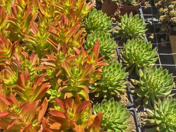 Succulent Crassula Campfire 4 Pot