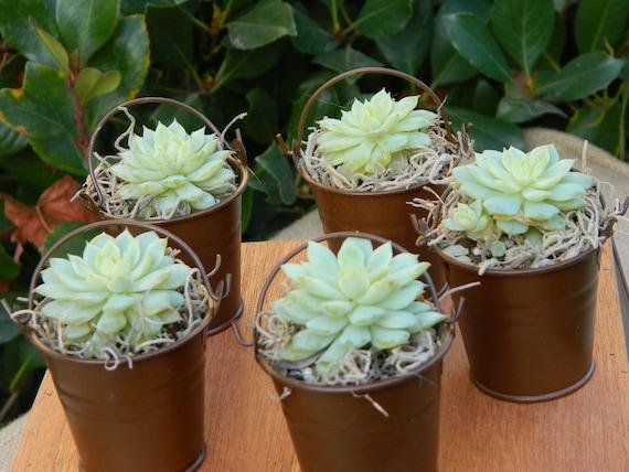 Succulent Wedding Favor, Succulent Bridal Shower Favor, Rustic Wedding Favor, Succulent Plants, Garden Party Favor, Mini Succulent