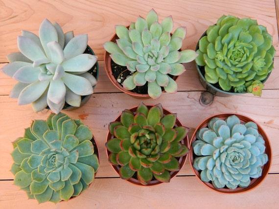 Succulent Plant Collection - 6 Succulent Rosette Shapes for Wedding Bouquets, Wedding Cake Toppers, Centerpieces, Succulent Container