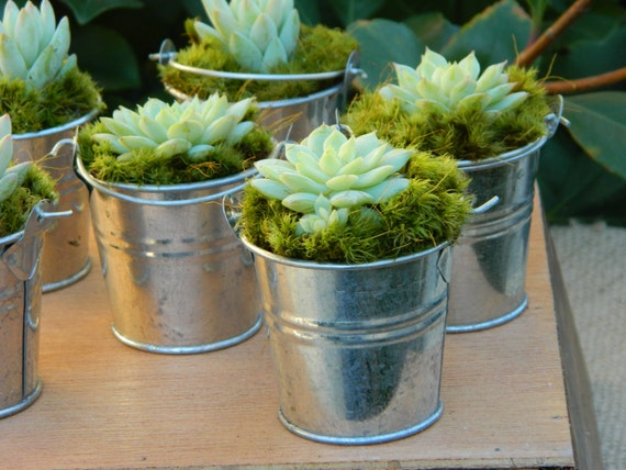 75 Succulent and Silver Pail Favors, Mini Succulent Plant Favors, Mini Silver Pails With Succulent