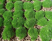 Live Irish Moss Great for Terrariums and Orbs.