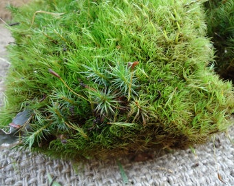 Pillow Moss for terrariums and orbs