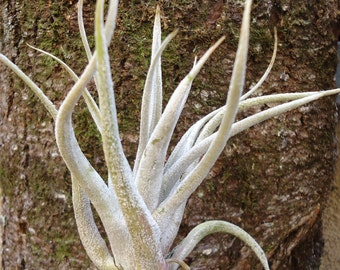 Tillandsia Karwinskyana-Large Air Plants