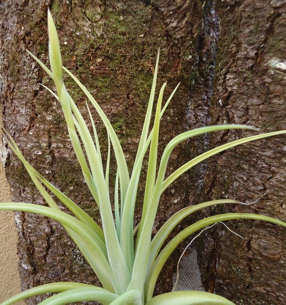 Large tillandsia micans hybrid from ctsairplants on etsy Tillandsia hybrids