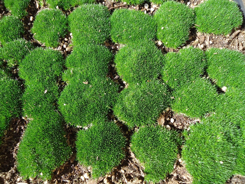 Irish moss buy