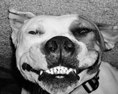 Cute Pit Bull Silly Dog Puppy Smiling Goofy Photo