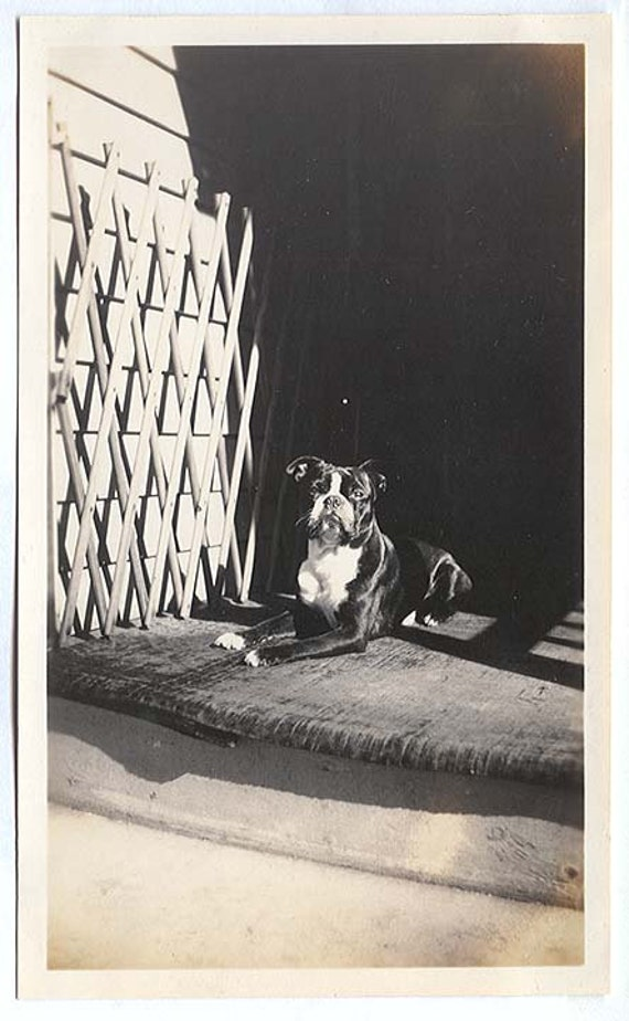 BOSTON terrier type DOG relaxes on the porch  Vintage PHOTO