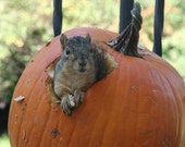 Fall Squirrel in the Pumpkin