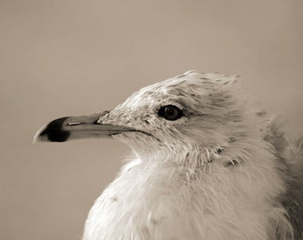 Black and White, Sepia Tone, Seagull, Seabird, Bird, Original Signed Print by Photographer, Guy Pushée