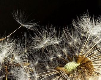 Macro of Fluffy Dandelion Seeds on Black Background Original Signed Print by Photographer, Guy Pushée