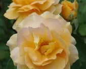 Flower Photography, Yellow Roses, Garden Photograph, roses, yellow petals, yellow rose petals - Yellow Roses