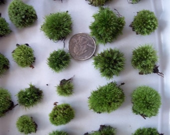 Live Cushion Moss - Teeny Button Size for Terrarium or Fairy Garden