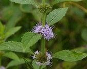 Sweet Pear Mint, Perennial, Live Plant