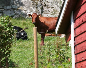 Red Barn, Red Cow, Travel Landscape, International Farm, Norway Farm, Pastural 5x7 Photograph