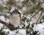 """Bird Photography Print - Winter Bird Photo - Fine Art Photograph - Bird Print - Forest Animal Print - Bird Wall Art - """"Titmouse in Winter"""""""""""