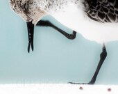 "Beach Photography, Sandpiper Close-up, 16x24"" Print, Sea Shore, Nautical, Blue, White, Black, Brown, Squinting Seagull"