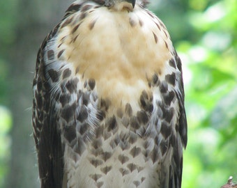 Red Tailed Hawk 8 x 10 Fine Art nature Photograph