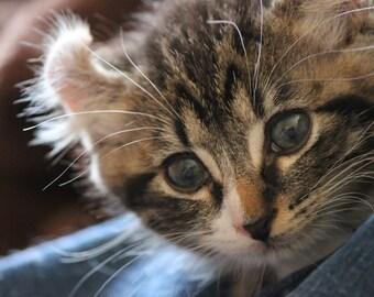 Curious Kitten 8 x 10 Fine Art Photograph