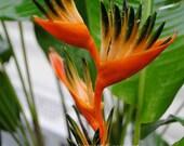 8x10 Professional Fine Art Matte Print Red Tropical Flower