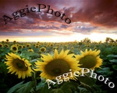 Greeting Cards - Set of Two 5 x 7 Sunflowers at Sunset