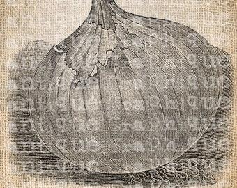 Antique Onion Garden Kitchen Cook Illustration Digital Download for Papercrafts, Transfer, Pillows, etc Burlap No. 3495