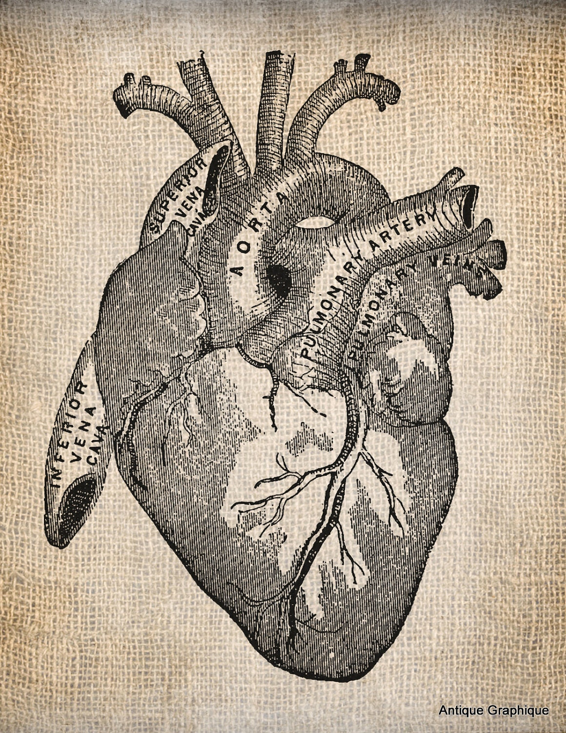 Vintage Anatomical Drawing Antique Heart A...