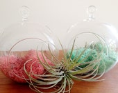 new colors pink and teal. sphere shaped glass hanging terrarium, and your choice of moss, desk garden, DIY
