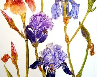 Bearded Iris  Large Botanical Etching, vibrant colour