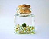 Marimo Moss Ball Aquarium Garden - Fresh Greenery in a Glass Square Jar