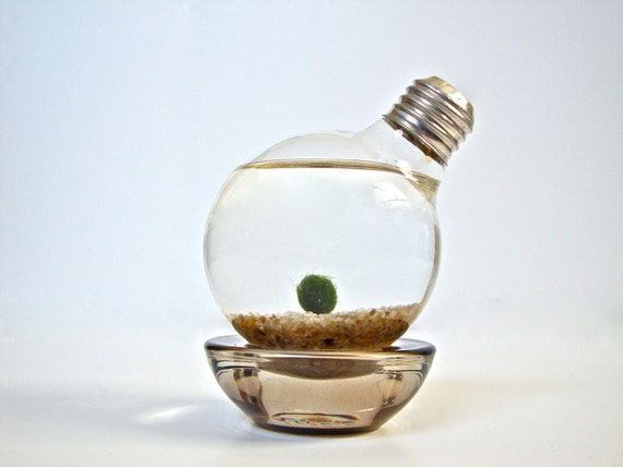 Marimo Moss Ball Light Bulb Aquarium, Aqua Terrarium, Repurposed Lightbulb Living Art, Up-cycled Light Bulb Decoration, Unique Home Decor