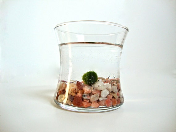 Little Japanese Marimo Moss Ball Aqua Terrarium