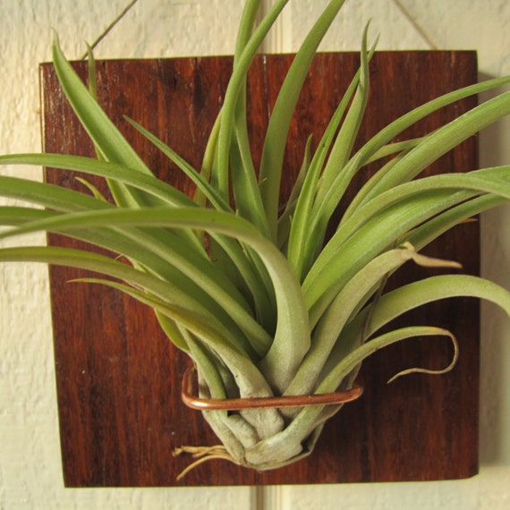 5x5 veluntia airplant wall mount bamboo hanging by niacraft for Air plant wall hanger