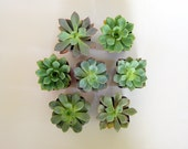 "Succulent Plants: lucky group of seven 2.5"" succulents for your collection or wreath. These little jewels are ready for your love."
