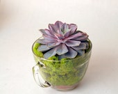 Large Echeveria 'Perle von Nurnberg' in a Pampered Chef measuring cup.