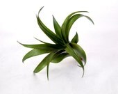 S A L E - Air Plant Collection: Small - Medium - and Large
