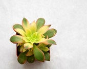 Tricolor Aeonium - shrub forming succulent in yellow, green, pink