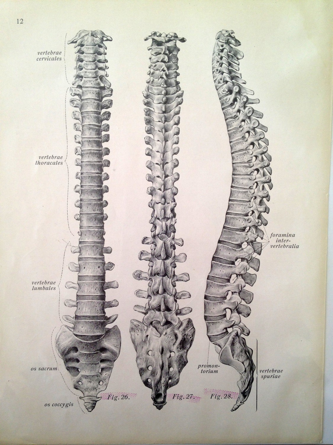 Human skeleton back spine - photo#7