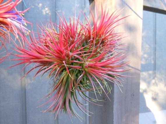 Air Plant // Variety Ionantha Balls  Unique Natural Gifts  Gifts under 20  Gifts for Her  Birthday
