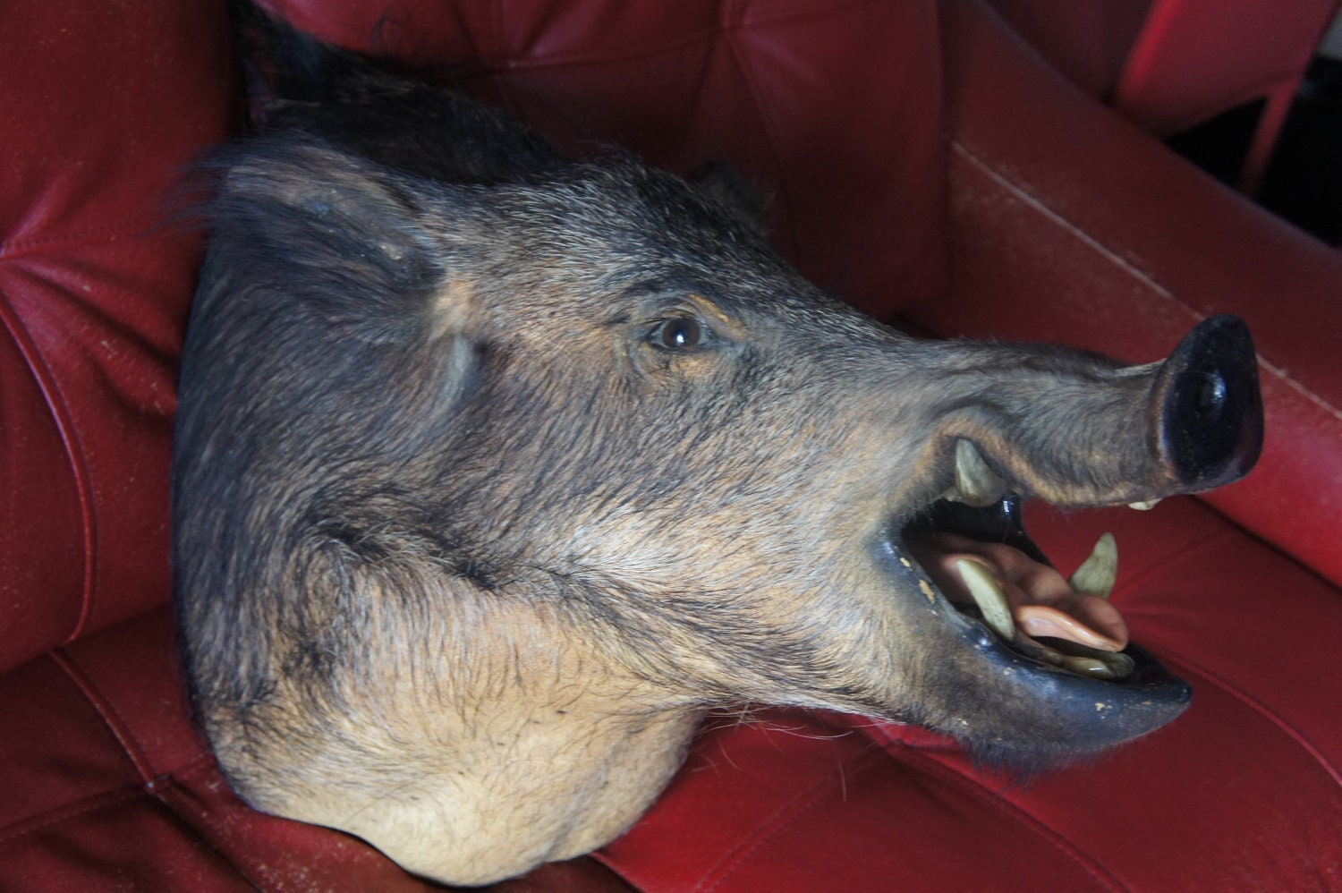 Boar Head Mounts http://www.etsy.com/listing/98762993/wild-boar-pig-warthog-hunt-head-shoulder