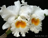 ORCHID JUNGLE No. 1 - Beautiful White Orchids with golden-yellow, ruffled lip