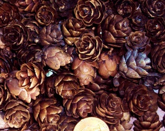50+ Tamarack Rose Pine Cones