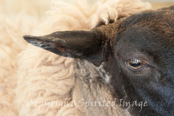 SUFFOLK SHEEP, 7.5x5in Print