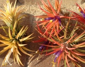 SALE Air Plant Iona Mix of 10