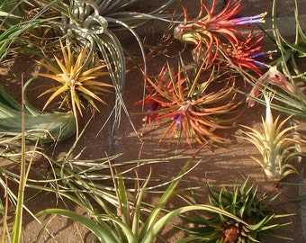 Air plant Mix of ten