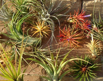 WHOLESALE Air Plants Mix of Four