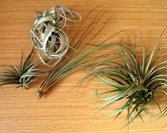 Large Air Plant Mix of 5