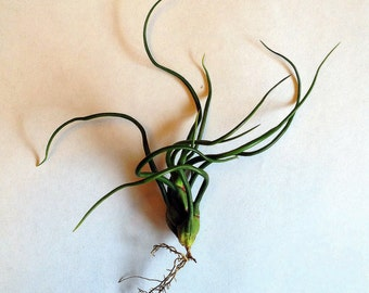 Air Plant Bulbosa Tillandsia buy one get one Iona